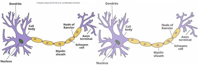 1 2 neurons